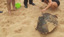 Avola, grande tartaruga marina sulla spiaggia di contrada Gallina