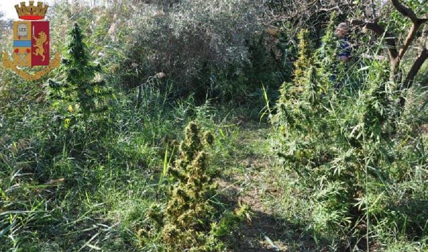 Coltivazione di marijuana in un fondo agricolo di Lentini, denunciato 37enne